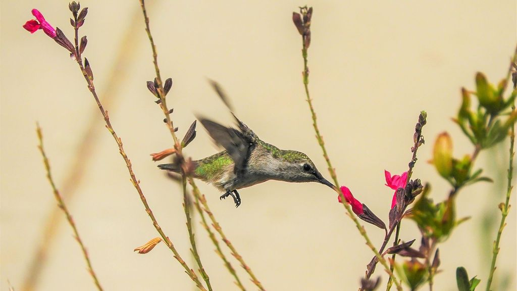 That Really Hums: How Hummingbirds Can Avoid Predators By Smelling Them